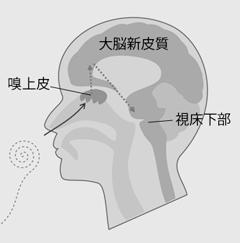脳の仕組み図